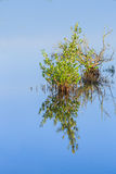Single young mangrove growing in Florida wetlands Royalty Free Stock Images