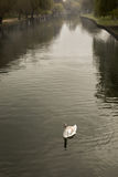 Single young mute swan on river Great Ouse in Bedford, England Royalty Free Stock Photos