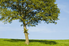 Single young oak tree Royalty Free Stock Images