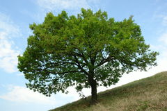 Single young oak tree Stock Images