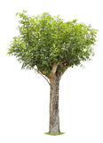 Single young tree with green leaves Royalty Free Stock Image