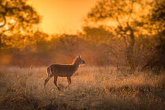 A single young waterbuck kobus ellipsiprymnus stock photography