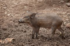 Single young of wild boar standing on dirt field. Single young   of wild boar standing on dirt field Royalty Free Stock Photography