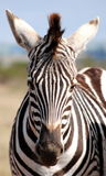 Single Zebra. Face of African Zebra in the wild Stock Images
