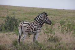 Single zebra Stock Photos