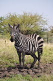 Single zebra Stock Image