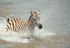 Single zebra (African Equids) Stock Photography
