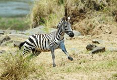 Single zebra (African Equids) running Royalty Free Stock Photography