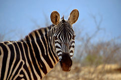 Single Zebra is eating grass. A single Zebra (Equus Quagga (lat.)) is eating some grass in the Tsavo East National Park in Kenya royalty free stock photos