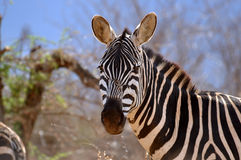 Single Zebra is eating grass. A single Zebra (Equus Quagga (lat.)) is eating some grass in the Tsavo East National Park in Kenya stock photos