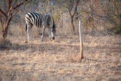 Single Zebra eating Stock Photography