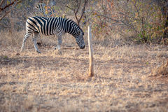Single Zebra eating Stock Image