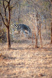 Single Zebra eating Stock Images