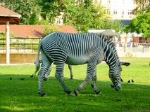Single zebra in the long green grass. Moscow zoo. stock images