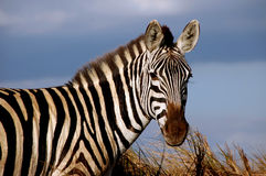 Single Zebra portrait in the wild Royalty Free Stock Photos