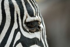 Free Single Zebra`s Eye, Ngorongoro Crater, Tanzania Royalty Free Stock Photo - 88698585