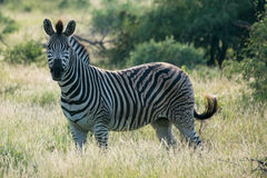 Single Zebra. A zebra standing in the African landscape Royalty Free Stock Photos