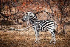 Single Zebra surrounded by fire-scorched trees. Kruger National. Lone Zebra in profile standing amongst fire-scorched trees. Kruger National Park, South Africa Royalty Free Stock Images
