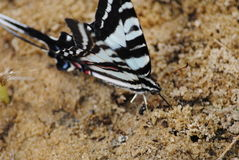 Single zebra swallowtail Royalty Free Stock Photography