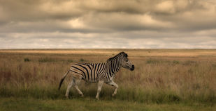 A single Zebra. A zebra walking in the grass in South Africa royalty free stock photos
