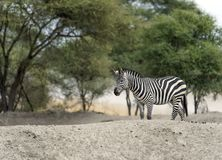 Single Zebra walking right to left. On white rock with trees in background. Tarangire National Park, Tanzania, Africa Stock Photos