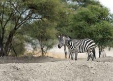 Single Zebra walking right to left Stock Photos