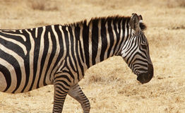 Lone Zebra Walking Royalty Free Stock Image