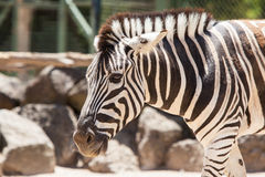 Single Zebra Royalty Free Stock Photography