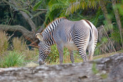 Single zebra Royalty Free Stock Image