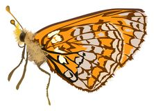 Singleorange butterfly illustration Royalty Free Stock Image