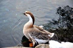 Singola anatra selvatica dal lago Immagini Stock Libere da Diritti