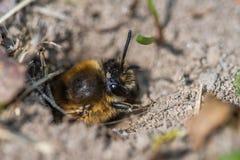 Singola ape di estrazione mineraria femminile in suo foro sulla terra Immagini Stock