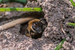 Singola ape di estrazione mineraria femminile in suo foro sulla terra Fotografie Stock Libere da Diritti