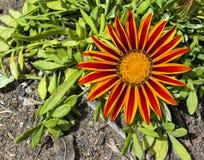 Singola arancia e fiore a strisce rosso di Gazania fotografia stock