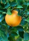 Singola arancia navel sull'albero Fotografia Stock