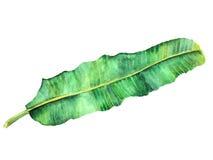 Singola banana della foglia dell'acquerello Fotografie Stock
