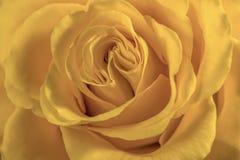 Singola bella rosa rossa Fotografie Stock