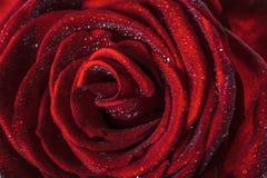 Singola bella rosa rossa Fotografie Stock Libere da Diritti