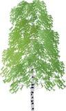 Singola betulla verde isolata su bianco illustrazione vettoriale
