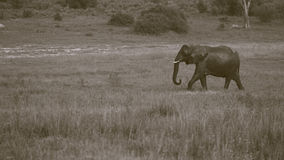 Singola camminata bagnata dell'elefante africano Fotografie Stock Libere da Diritti