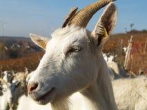 Singola capra bianca Fotografie Stock
