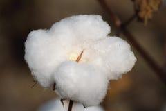 Singola capsula del cotone nel campo Fotografie Stock Libere da Diritti