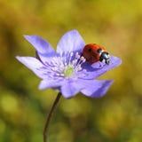 Singola coccinella sul fiore viola nella primavera Fotografie Stock Libere da Diritti