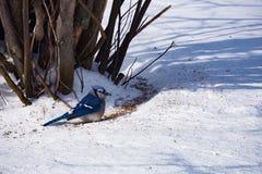 Singola cyanocitta cristata di Snowy Fotografia Stock Libera da Diritti