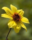 Singola dalia gialla - variabili della dalia Immagine Stock