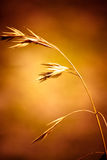 Singola erba del germe di frumento. Immagini Stock