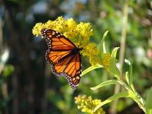Singola farfalla fotografie stock libere da diritti