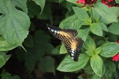 Singola farfalla Immagini Stock