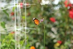 Singola farfalla Fotografia Stock Libera da Diritti