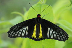 Singola farfalla Immagine Stock